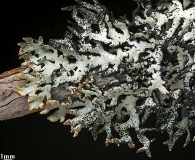 Hypogymnia lugubris