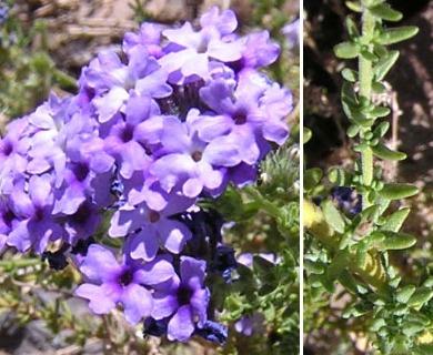 Junellia selaginoides