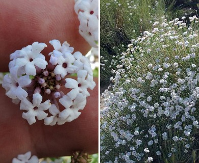 Junellia spathulata