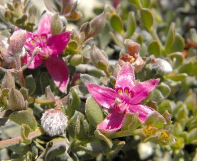 Krameria cistoidea