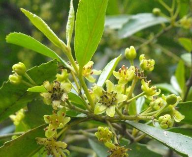 Laurelia sempervirens
