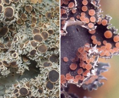Leioderma pycnophorum