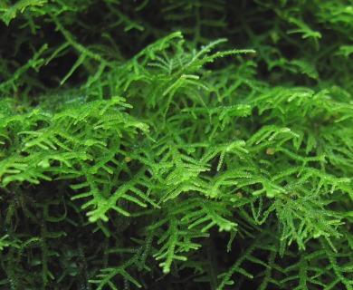Lepidozia chordulifera