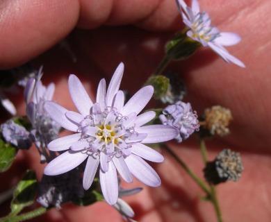 Leucheria thermarum