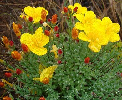 Linum macraei