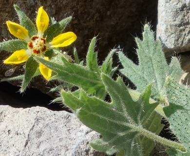 Loasa heterophylla