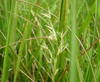 Luziola peruviana