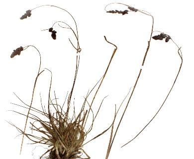 Luzula racemosa