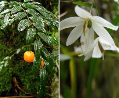 Luzuriaga polyphylla