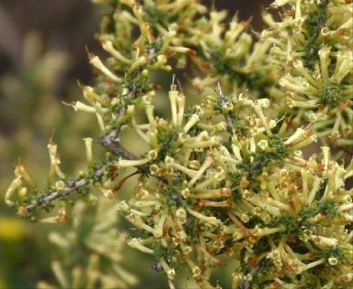 Lycium minutifolium