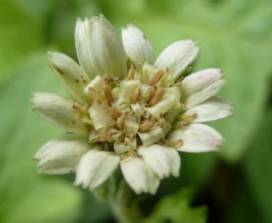 Macrachaenium gracile
