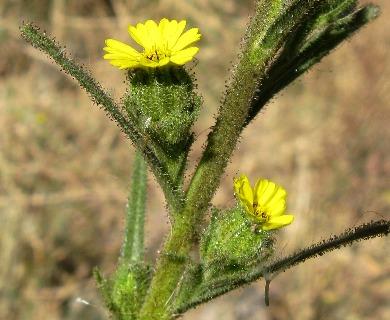 Madia chilensis