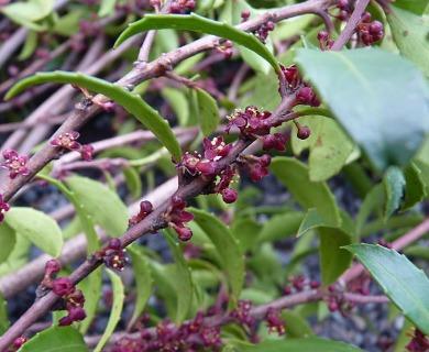 Maytenus magellanica