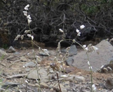 Melica argentata