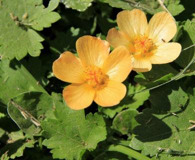 Modiolastrum malvifolium