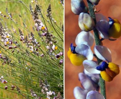 Monnina linearifolia