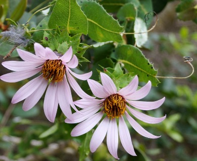 Mutisia latifolia