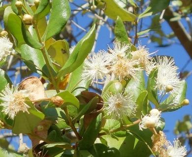 Myrceugenia correifolia