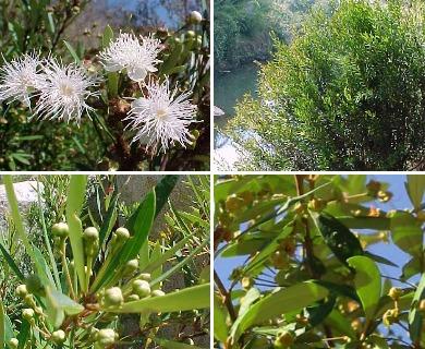 Myrceugenia lanceolata