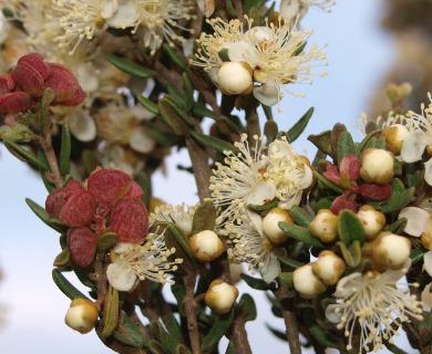 Myrceugenia rufa