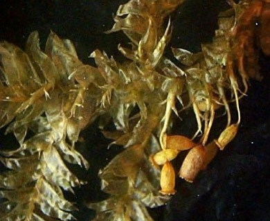 Neckera chilensis