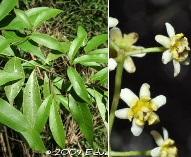 Nectandra megapotamica