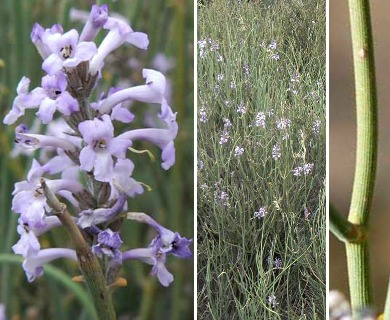 Neosparton aphyllum