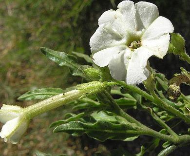 Nicotiana corymbosa