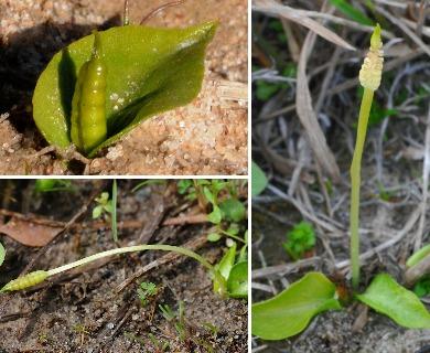 Ophioglossum crotalophoroides