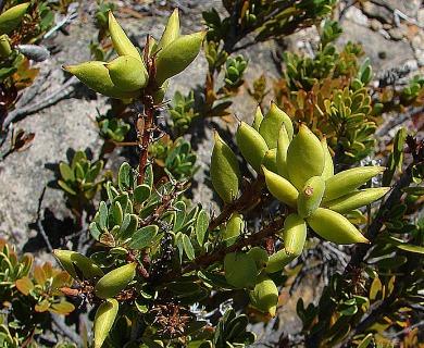 Orites myrtoidea