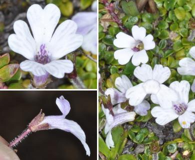 Ourisia breviflora