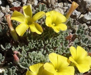 Oxalis hypsophila