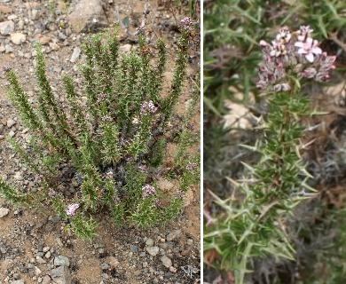 Oxyphyllum ulicinum