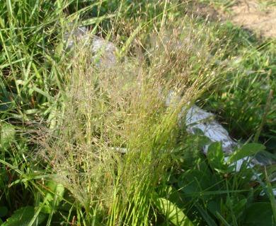Panicum bergii