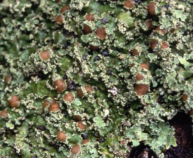 Pannaria microphyllizans
