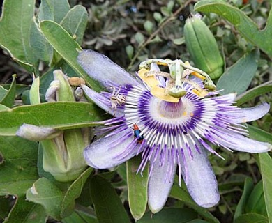 Passiflora mooreana