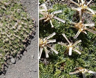 Perezia pilifera