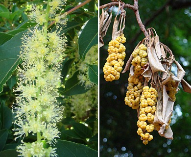Phytolacca dioica