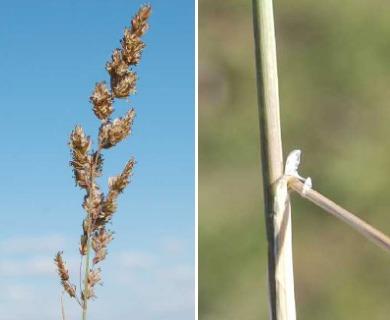 Poa ligularis