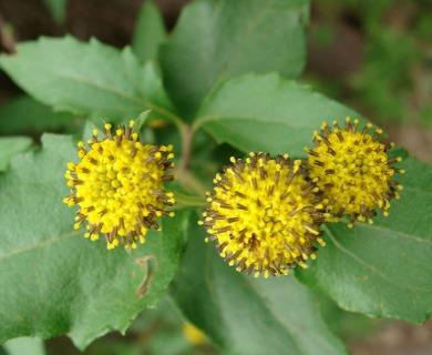 Podanthus mitiqui