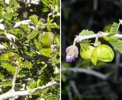Porlieria chilensis