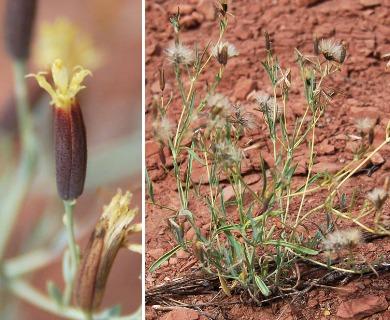 Porophyllum obscurum