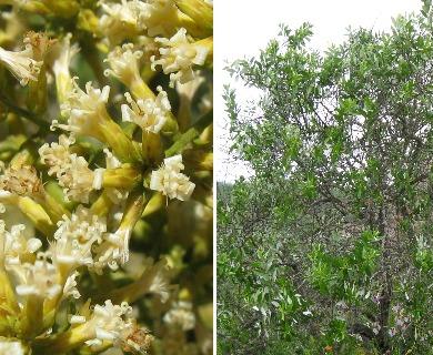 Proustia ilicifolia