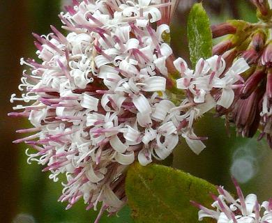 Proustia pyrifolia