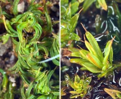 Pseudocrossidium crinitum
