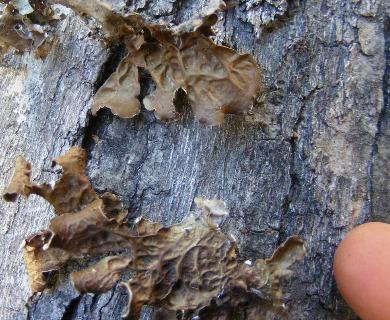 Pseudocyphellaria coriifolia