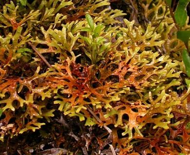Pseudocyphellaria divulsa