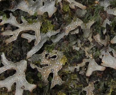 Pseudocyphellaria norvegica