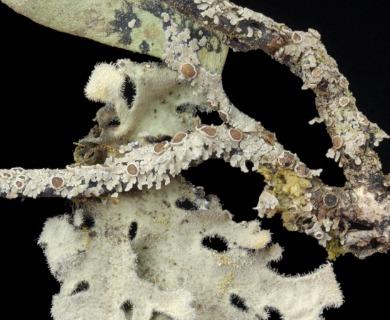 Pseudocyphellaria obvoluta