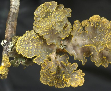 Pseudocyphellaria scabrosa